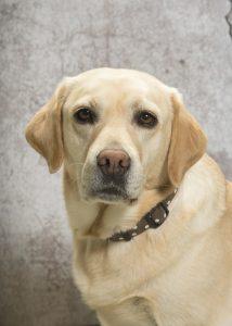 Therapiehund Pebbels